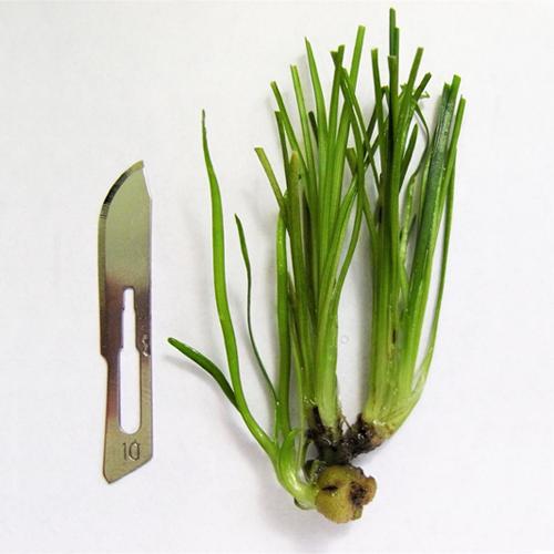 VitroFlora commercial plant tissue cultures